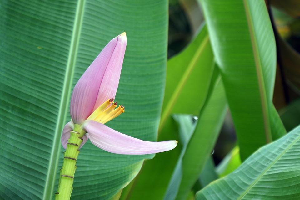 Banana Flower Bloom Free Photo On Pixabay