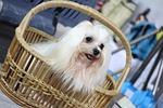 dog show, dog