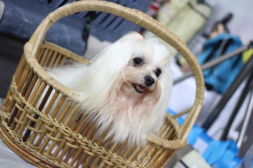 Exposición Canina Canny, Dog Show, Perro