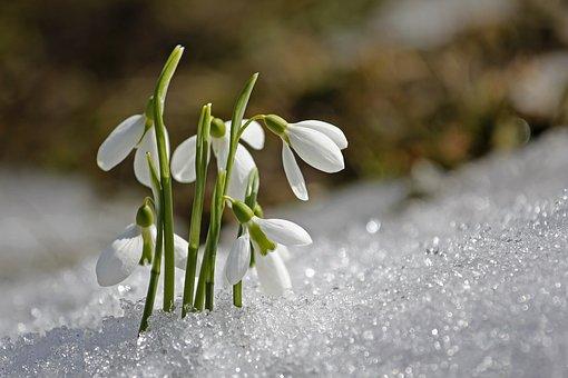 Frühling, Schneeglöckchen, Blume