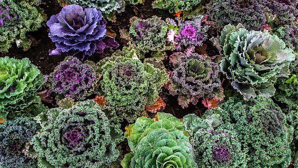 Varieties Of Kale, Vegetable Garden