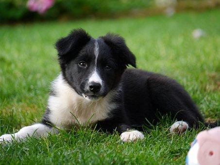 Border Collie, Puppy, Dog, Border Collie