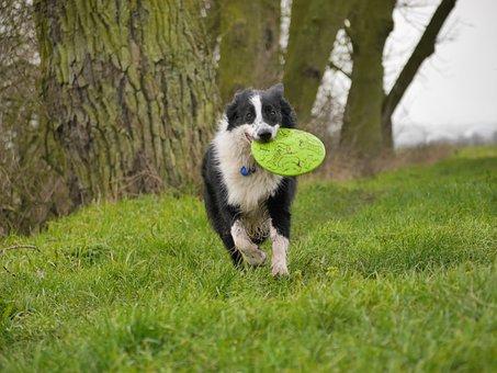 Border Collie, Hond, Frisbee, Spelen