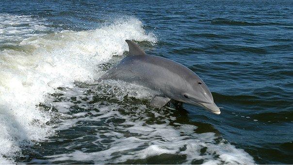 Dolphin, Ocean, Waves, Jump