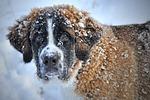 pies, śnieg, pies bernardyn