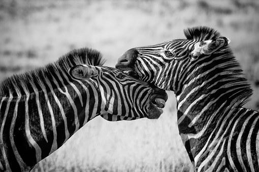 Zebra, Wildlife, Africa, Safari, Wild