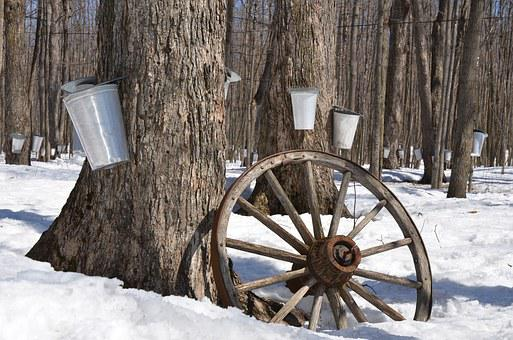 Maple Syrup Tree Maple Syrup Sap Sugar Spr