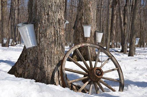 Maple Syrup Tree Maple Syrup Sap Sugar Spr