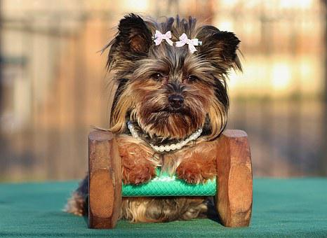 Teacup Yorkie Puppies for sale in Iowa