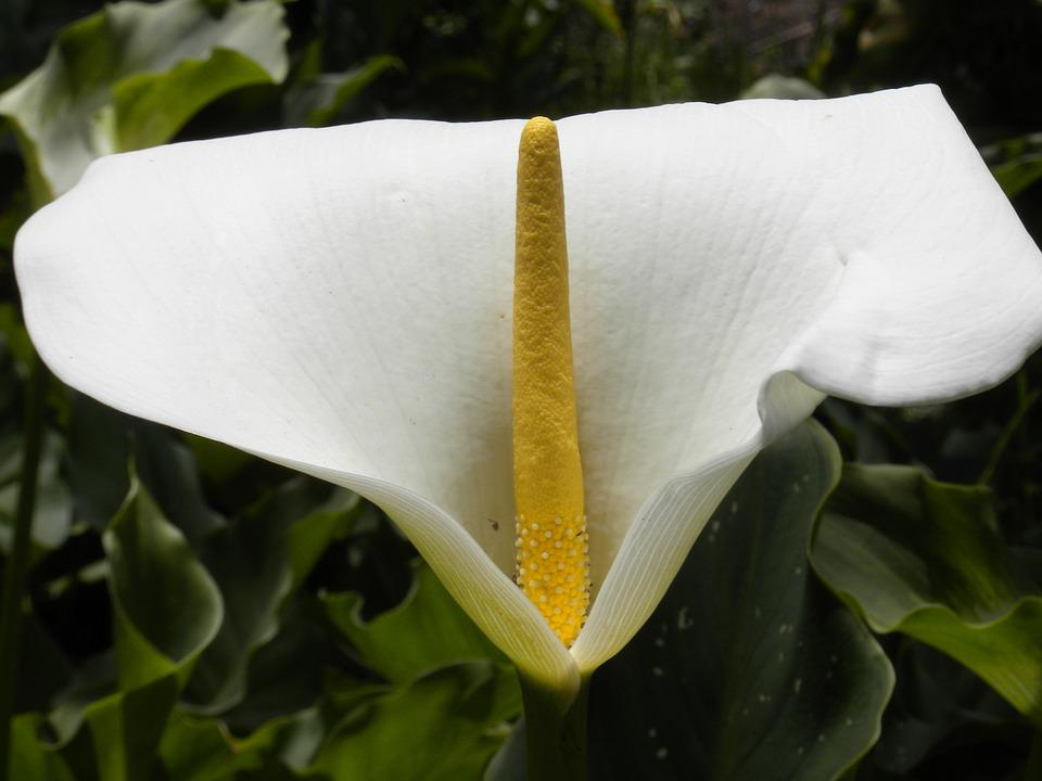 Arum flower white free photo on pixabay arum flower white yellow green foliage mightylinksfo Image collections