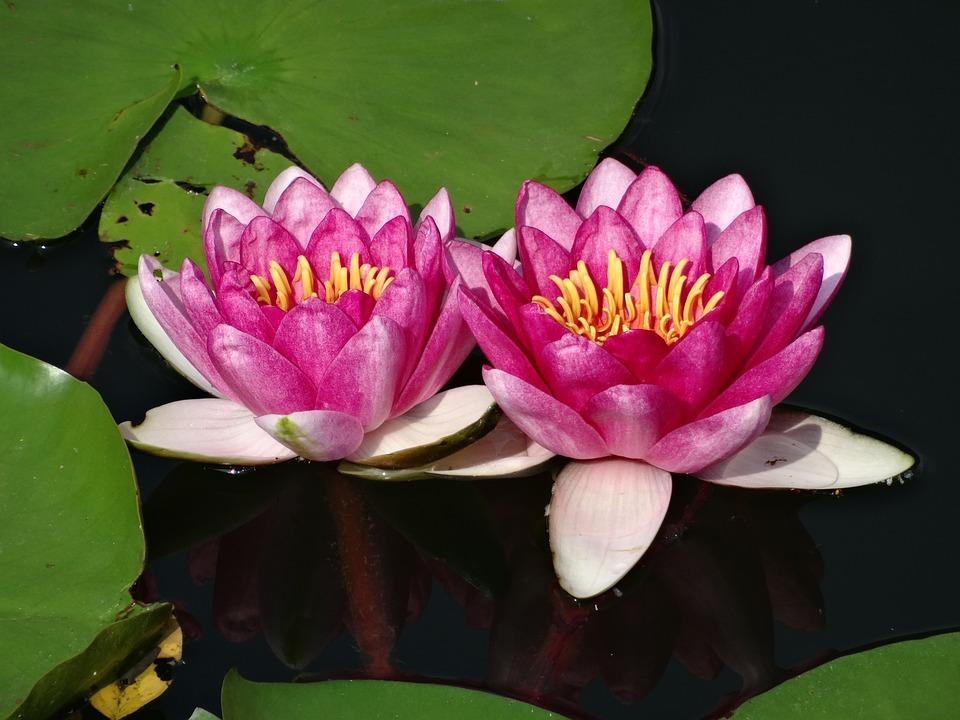 free photo lotus, water lily, pink, pond  free image on pixabay, Beautiful flower
