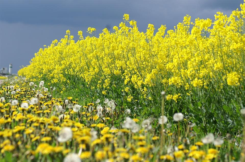 colza fleurs jaunes t photo gratuite sur pixabay. Black Bedroom Furniture Sets. Home Design Ideas