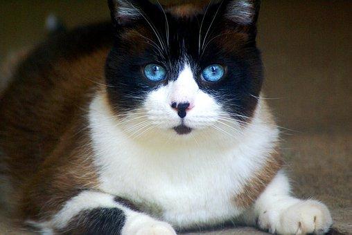 Cat, Siamese, Feline, Pet, Veterinary