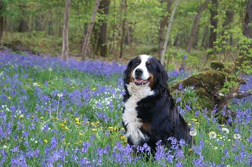 Dog, Bernese Mountain Dog, Forest