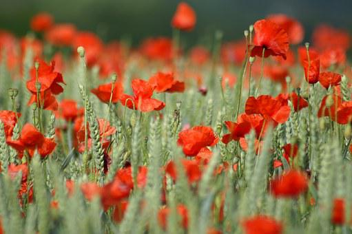 Poppy, Brightly Colored, Red, Spring