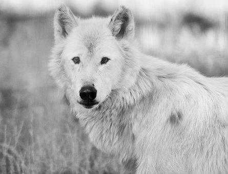 Wolf, White, Nature, Fauna, Wild Life