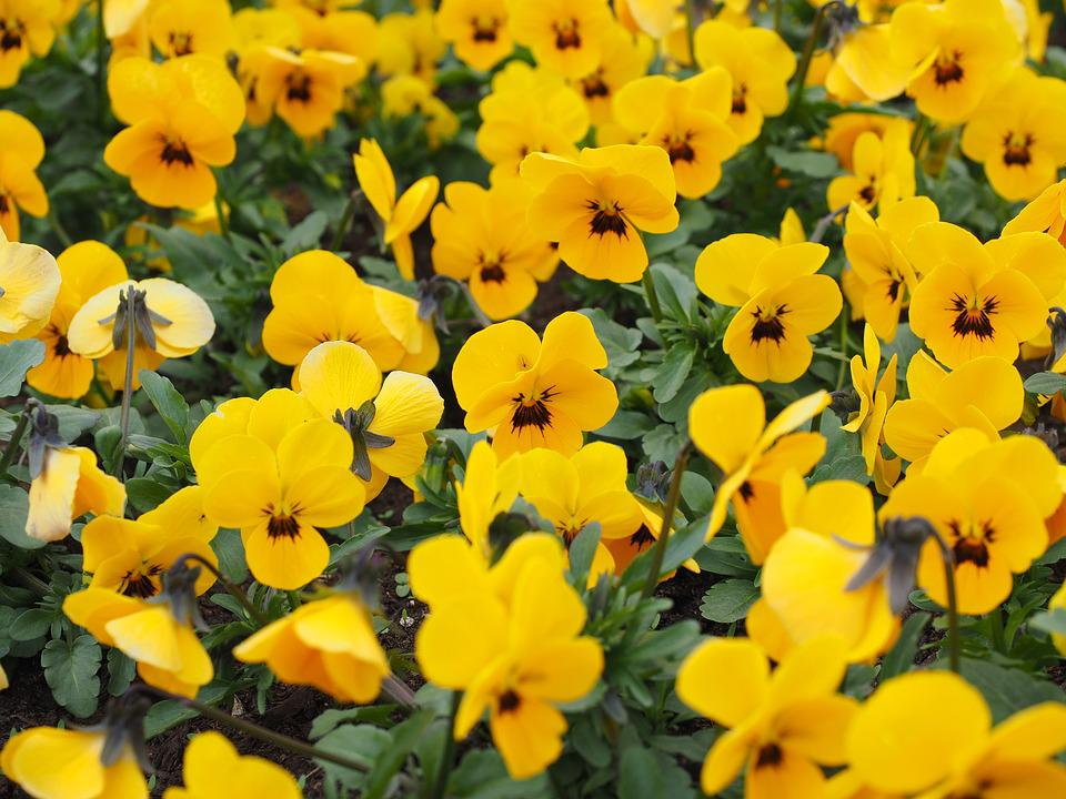 Yellow Pansy Images Pixabay Download Free Pictures