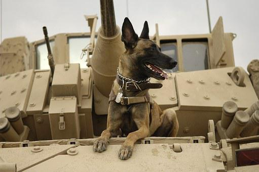 Dog, Tank, Army, Malinois