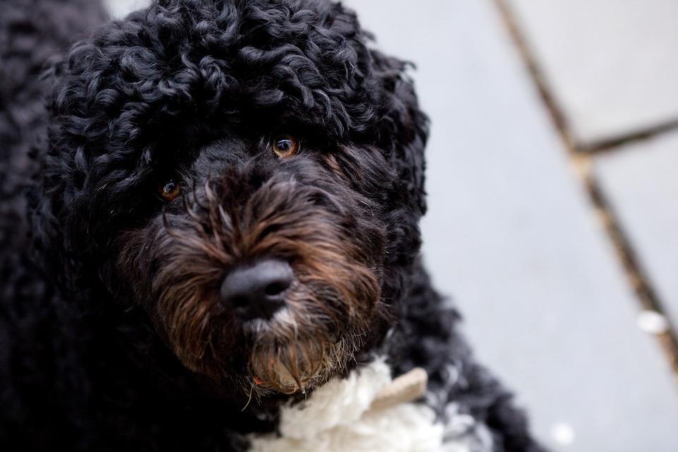 Bo, Obama Family Dog, March 2010, Portuguese Water Dog