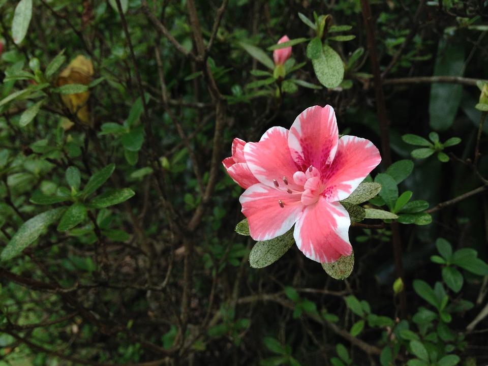 Pink Flower Azalea Maui Nui Botanical Gardens