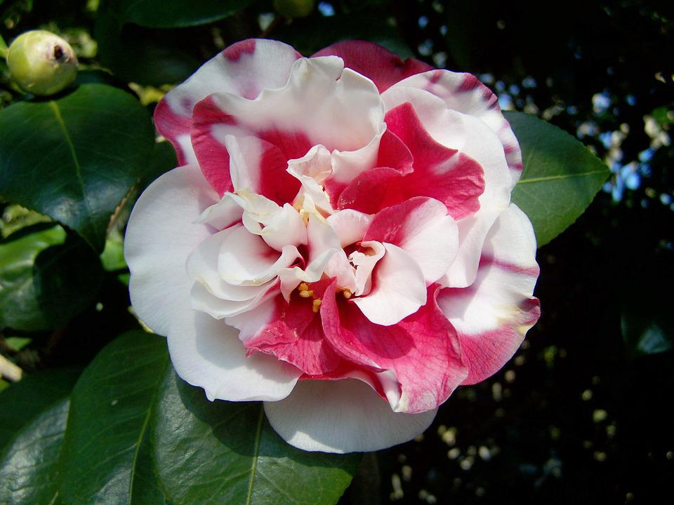 Camellia pink and white flowers free photo on pixabay camellia pink and white flowers shrub mightylinksfo