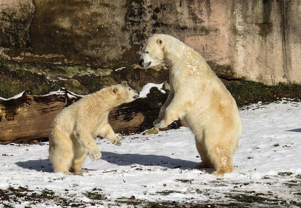 Polar Bear Play Fight 183 Free Photo On Pixabay