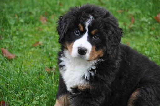 Bernese Mountain Dog, Dog, Big Dog