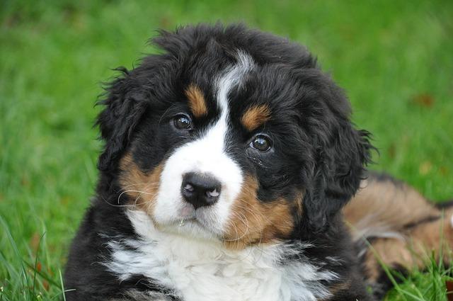 photo gratuite bouvier bernois chien gros chien image gratuite sur pixabay 1177076. Black Bedroom Furniture Sets. Home Design Ideas