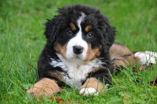 Bernese Mountain Dog, Dog, Big Dog