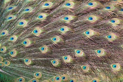 Coda di pavone immagini gratis su pixabay - Immagini pavone a colori ...