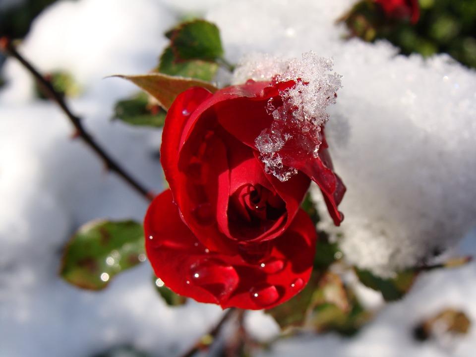 photo gratuite: rose rouge, neige, gouttes d'eau - image gratuite
