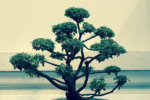 bonsai baum kostenlose bilder auf pixabay. Black Bedroom Furniture Sets. Home Design Ideas
