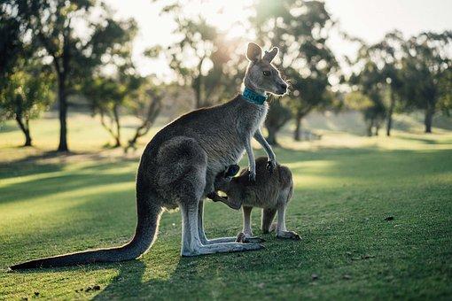 Australia, Kangaroo, Outback, Oz