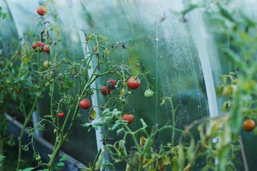 トマト, 温室効果, ダーチャ, 野菜, 食品, ベジタリアニズム, 栄養