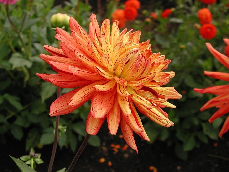 photo gratuite: dahlia, fleur, orange jaune - image gratuite sur