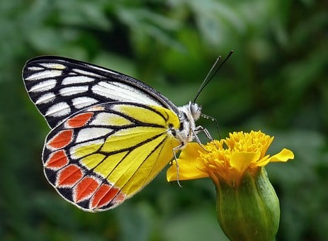 Butterfly, Tigist, Flower Bud, Yellow