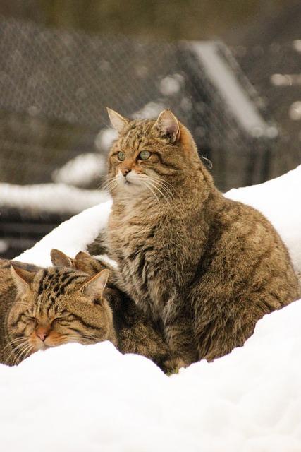 kostenloses foto wildkatze schnee winter katzen kostenloses bild auf pixabay 1181440. Black Bedroom Furniture Sets. Home Design Ideas