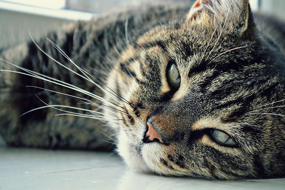Gato, Olhos, Gatos, Gato Focinho, Querida