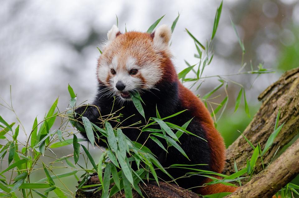 Red Panda Little Cute Free Photo On Pixabay