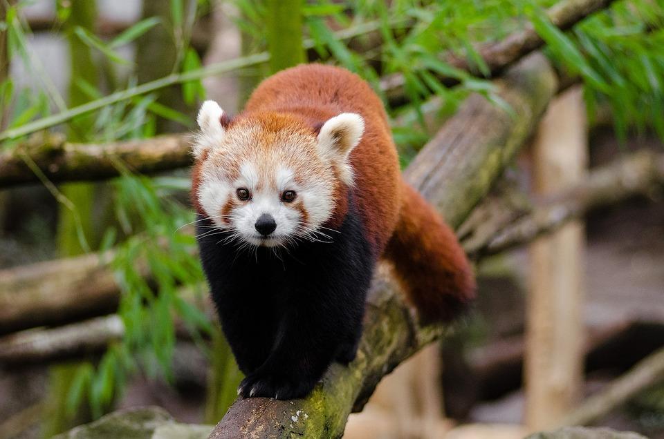 Red Panda, Little Panda, Bamboo, Mammal