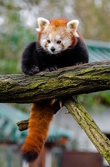 Red Pandas Eating Pizza