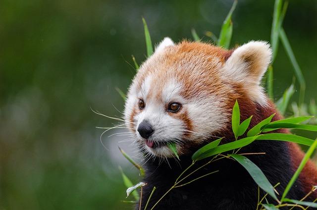 photo gratuite panda rouge petit panda mignon image gratuite sur pixabay 1182078. Black Bedroom Furniture Sets. Home Design Ideas