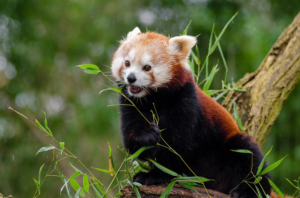 baby red panda eating