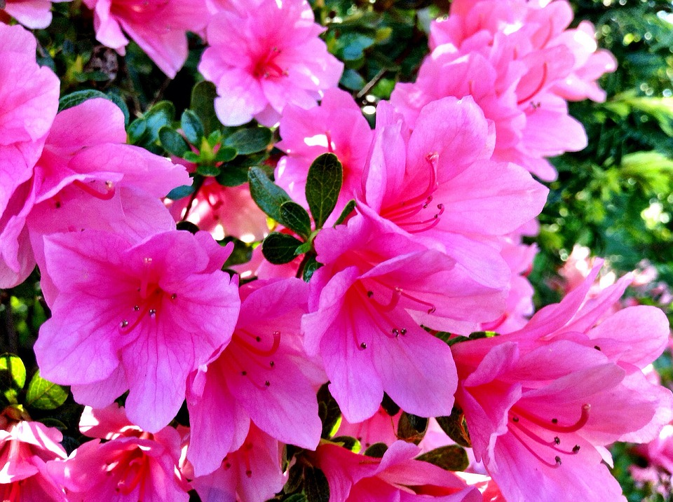 Pink flowers rhododendrons free photo on pixabay pink flowers rhododendrons flanging tool color pink mightylinksfo Gallery