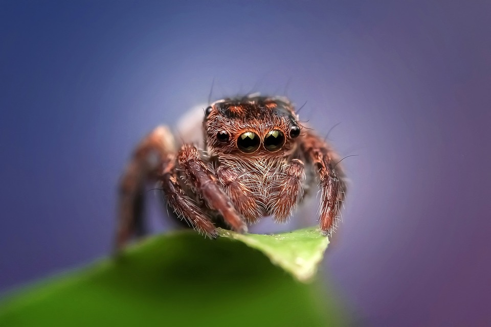 Eyes Of A Dragonfly Nature Dew Cute Macro Hd Wallpaper: Free Photo: Jumping Spider, Spider, Insect