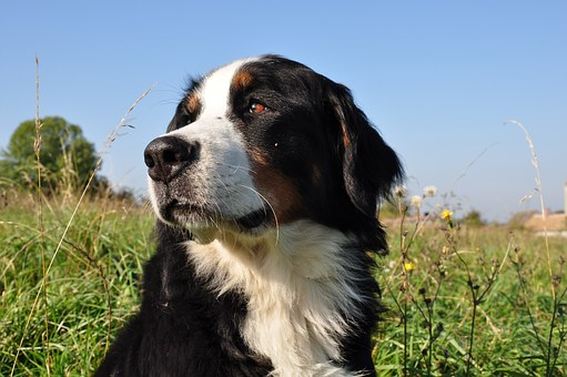 Dog, Bernese Mountain Dog, Animal