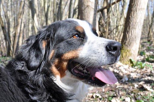 Dog, Bernese Mountain Dog, Animal