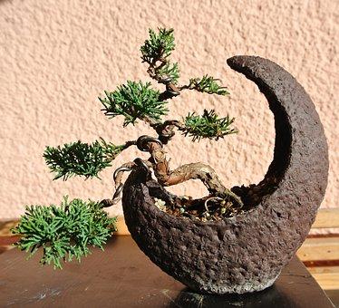 Bonsai, Juniper, Moon Shell, Nature