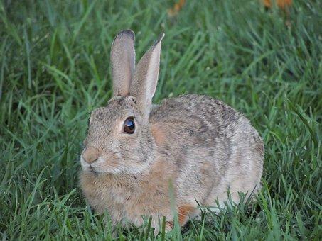 Bunny Rabbit Grass Green Brown Animal Wild