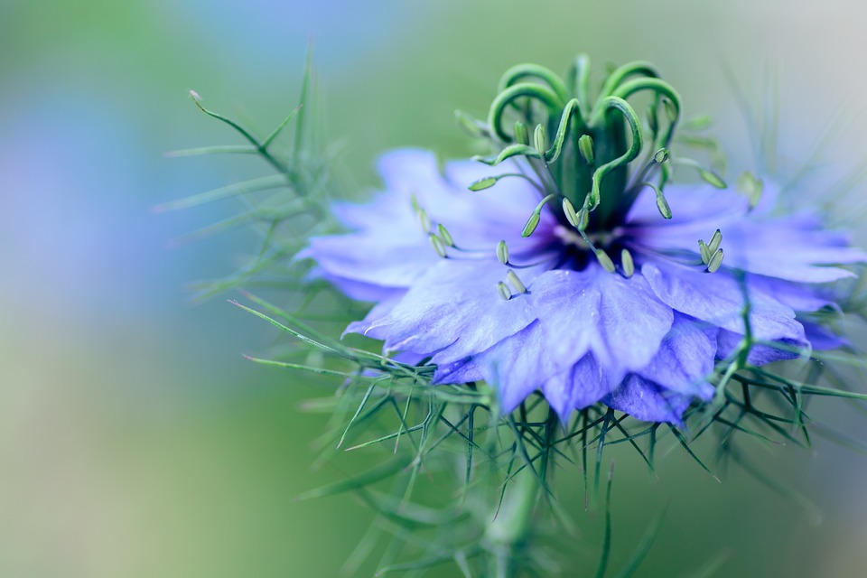 Flowers, Nigella, Plant, Natural